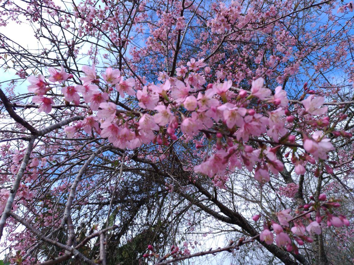 Festa da Cerejeira     ・・・