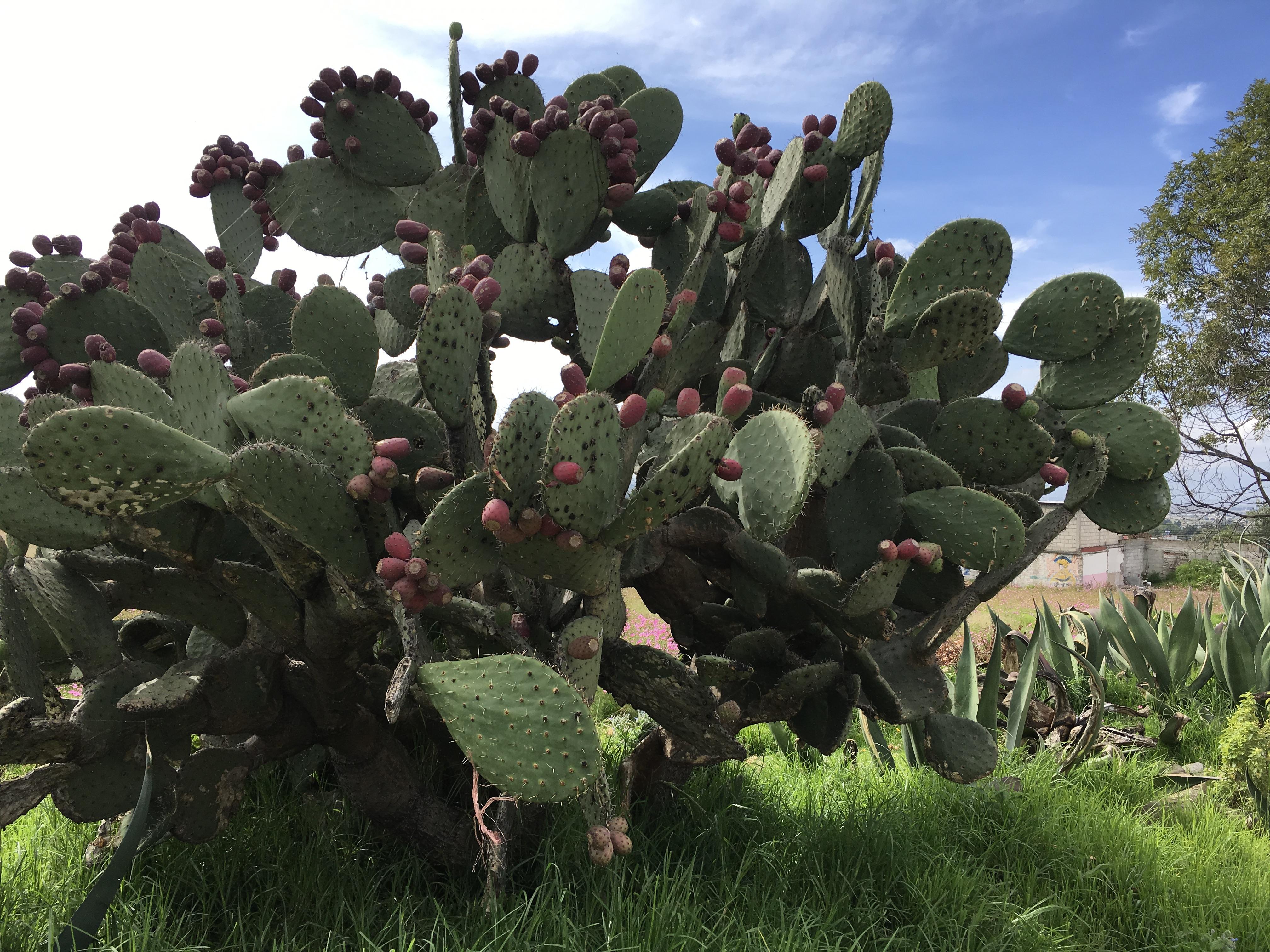 今回は、メキシコ代表する果物TUNA<トゥナ>