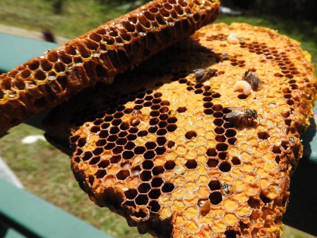 ハチの子ごはん