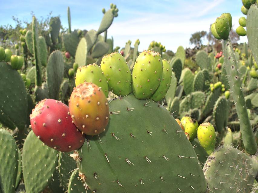 メキシコでサボテンを食べる